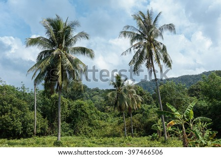 Coconut palms in the rainforest