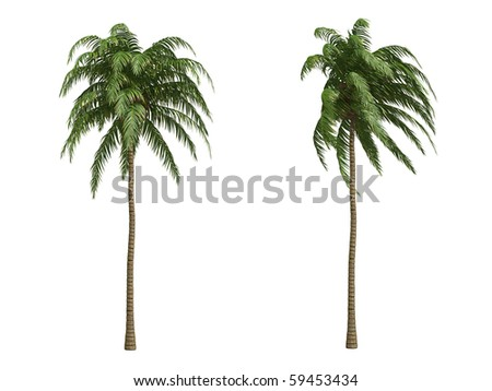 Coconut palms isolated on white