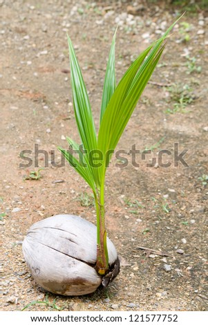 Coconut sprout on the beach. - stock photo