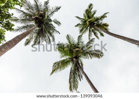 Coconut/Three coconut trees low angle. - stock photo