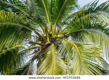 Coconut tree / Coconuts palm tree perspective view from floor high up / Close up detail of a tropical coconut palm tree - stock photo