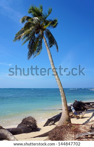 Coconut tree eroded slowly by the sea with driftwood on a tropical beach - stock photo