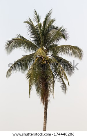 Coconut tree in white background. - stock photo