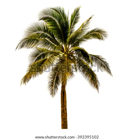 Coconut tree isolate in white, summer tree,summer coconut tree