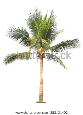 Coconut tree isolated on white background. - stock photo