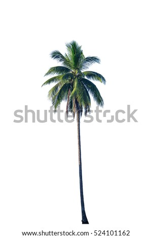 coconut tree isolated on white with clipping path.