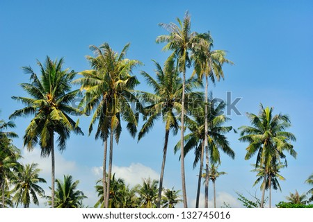 Coconut trees