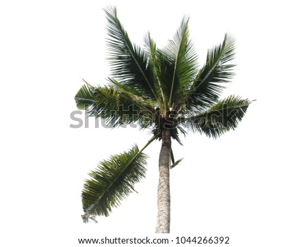 coconut trees This is coconut tree on white background with clipping path.