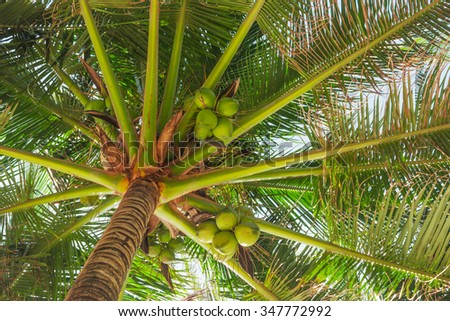 Coconuts under the large leaves of palm trees - stock photo