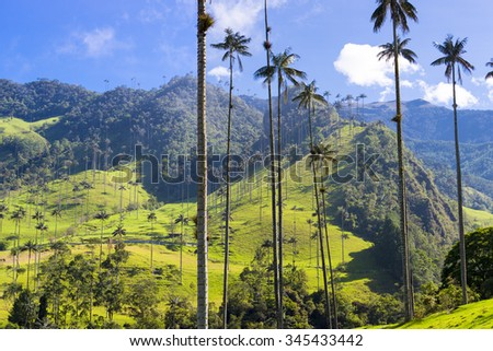 Cocora valley near Salento with enchanting landscape of pines and eucalyptus towered over by the famous giant wax palms, clear blue sky, Colombia - stock photo