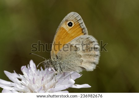 Coenonympha pamphilus, Small Heath Butterfly from Western Europe - stock photo