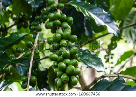 coffee bean on green leaf - stock photo
