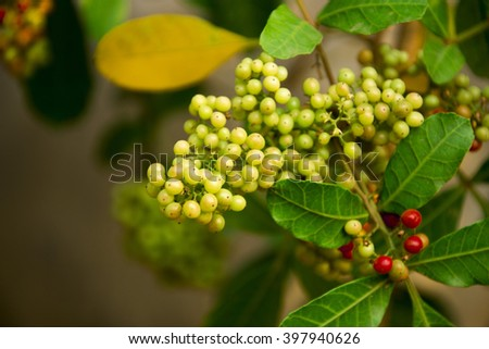 Coffee beans arabica ripe on a tree - stock photo