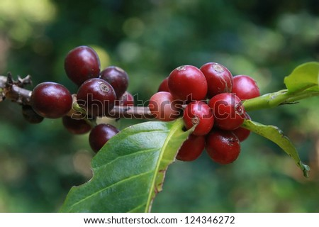coffee beans in garden - stock photo