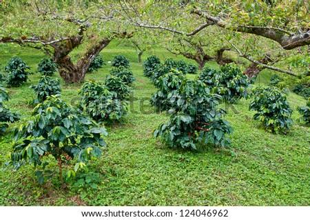 coffee beans on coffee tree. - stock photo