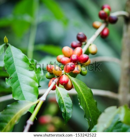 Coffee beans on the branch. Robusta Coffee. - stock photo