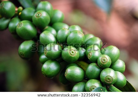 Coffee beans on the plant, plateau Bolaven, Laos - stock photo
