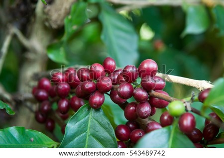 Coffee beans on tree in farm