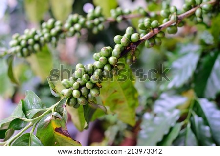Coffee beans on tree in North of thailand - stock photo
