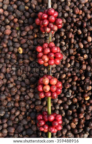 Coffee beans ripening on dried berries coffee beans backgourng