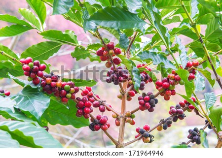 Coffee beans ripening on tree - stock photo