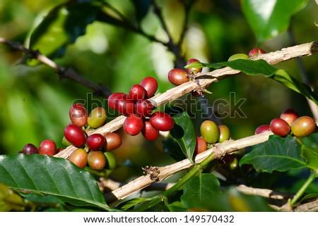 Coffee beans ripening on tree in North of Sumatra, Medan, Indonesia - stock photo