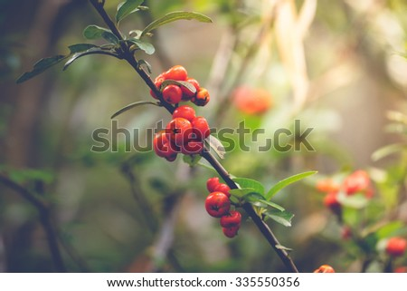Coffee beans ripening on tree in North of thailand, nature background - stock photo