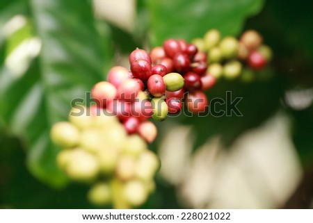 Coffee beans ripening on tree in South of Thailand - stock photo