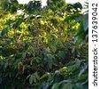 Coffee beans ripening on tree. Mauritius island - stock photo