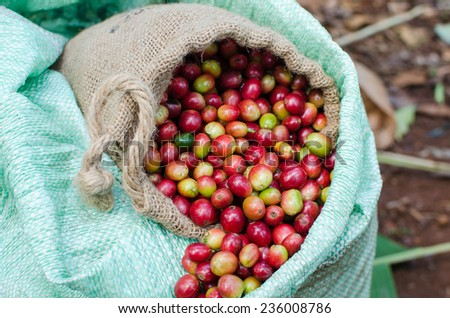 coffee berries beans in plastic bag - stock photo
