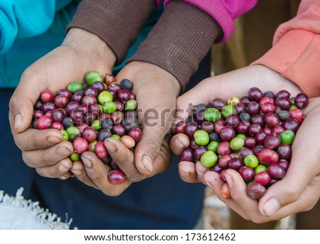 coffee berries on agriculturist hands - stock photo