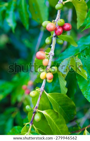 Coffee cherries growing on the coffee tree - stock photo