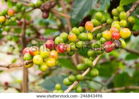 coffee cherries hanging on tree - stock photo