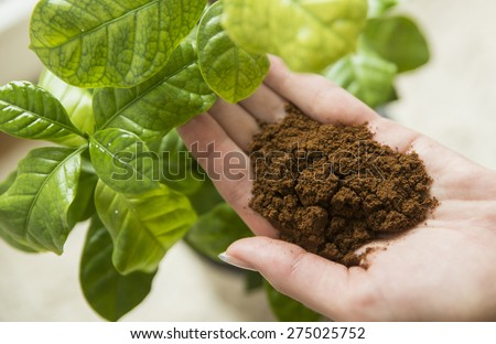 Coffee in hand with coffee plant - stock photo