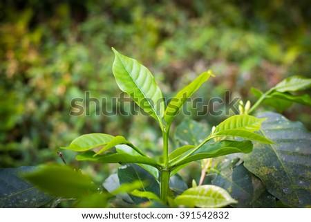 Coffee leaf plant in organic farming - stock photo