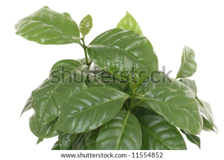 coffee plant leaves isolated on white