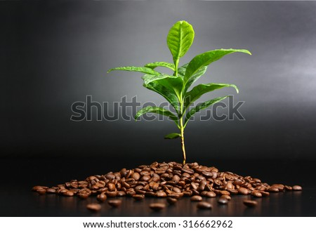 Coffee plant planted in coffee beans - stock photo