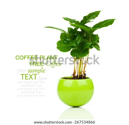 coffee plant tree growing seedling in soil pile isolated on white background - stock photo