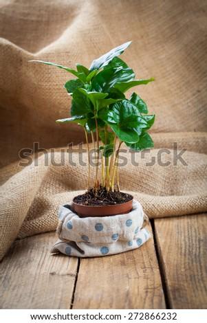coffee plant treeon sackcloth, wooden background - stock photo
