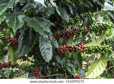 Coffee plantation at Doi Intanon,Thailand  - stock photo