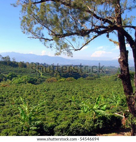 Coffee plantation in Costa Rica with a skyline with mountains in the background, tree in foreground. - stock photo