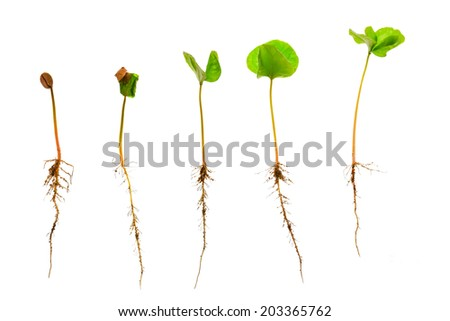 Coffee sapling or seedling growing plan with visible root against a white background ,clipping path - stock photo