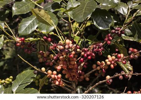 Coffee seeds on a coffee tree - stock photo
