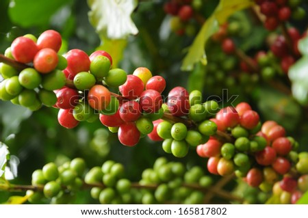 Coffee tree branches filled with ripening Coffee Cherries  - stock photo