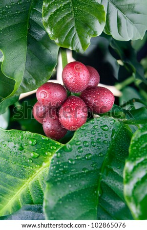 Coffee tree branches with water drops. Coffee tree branches filled with red cherries. Coffee cherries (beans inside) are ready for harvest. - stock photo