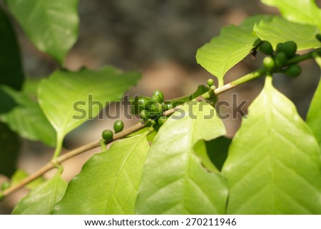 Coffee tree, green raw coffee beans on the branch - stock photo