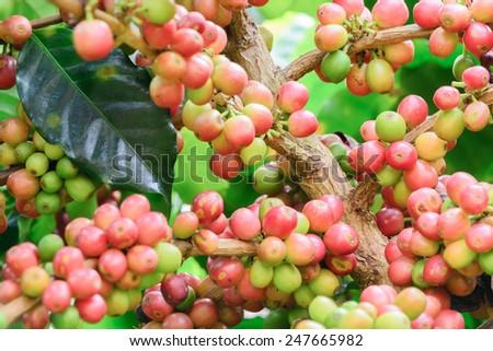 coffee tree grow - stock photo