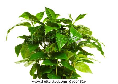 coffee tree, isolated - stock photo
