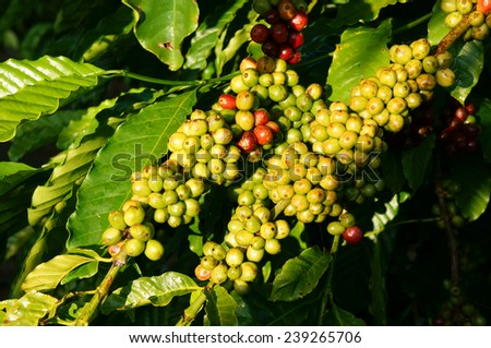 Coffee tree with coffee bean on cafe plantation, cafe is main plant at basalt soil like Bao Loc, Lam Dong, Viet Nam, and coffee is Vietnam agriculture product to export - stock photo