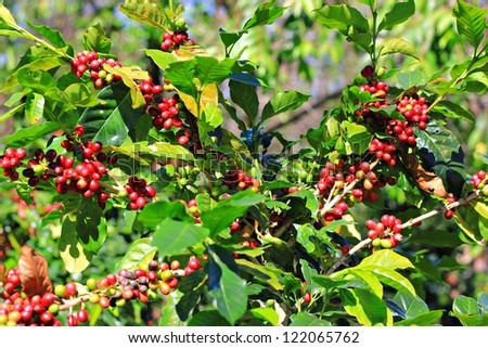 Coffee tree with ripe - stock photo